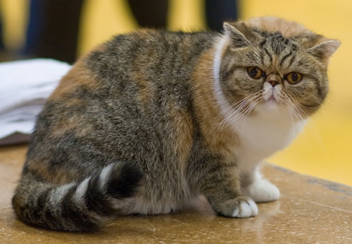Exotic Shorthair attentif