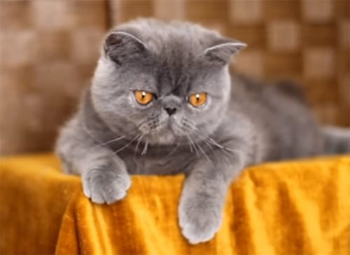 Education de l'Exotic Shorthair