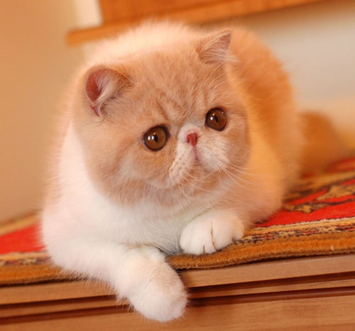 Exotic Shorthair allongé