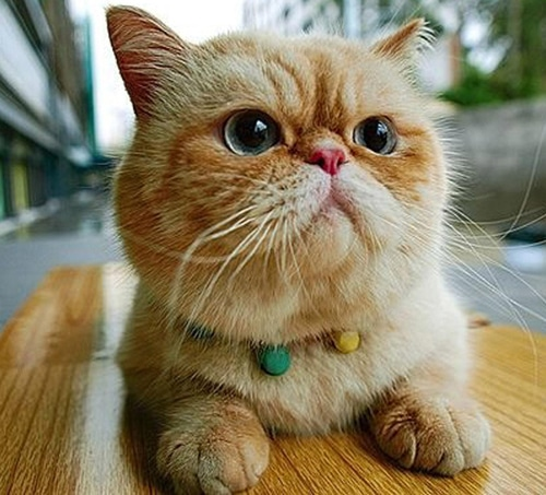 Exotic Shorthair amusant