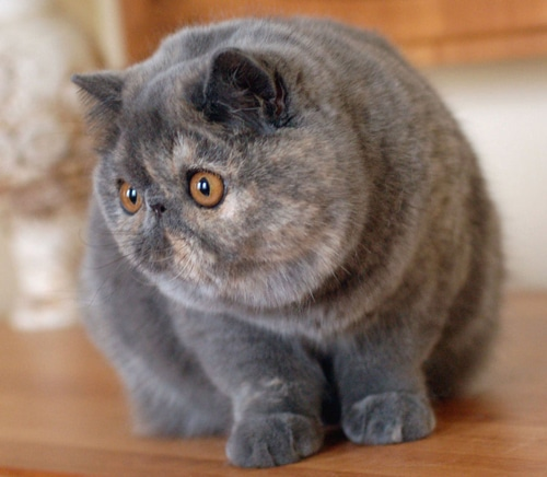 Exotic Shorthair tranquille